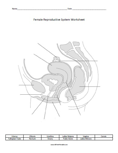female reproductive system worksheet free printable. Black Bedroom Furniture Sets. Home Design Ideas
