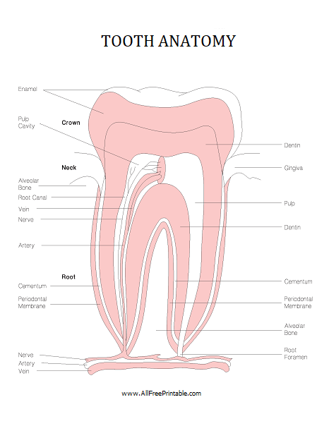 Free Printable Tooth Anatomy